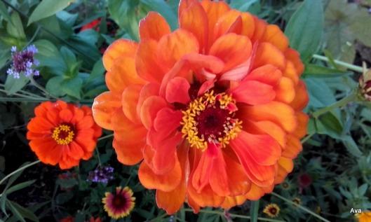 zinnia-orange-2