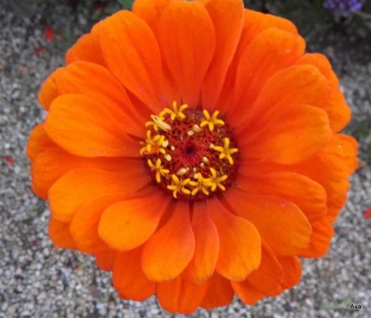 zinnia-orange