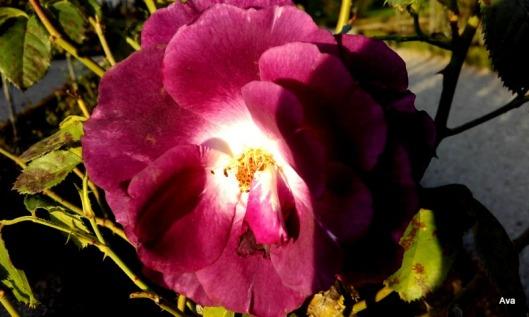 rose mystérieuse