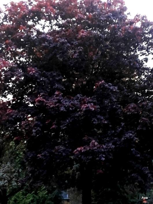 arbre-au-feuillage-bordeaux