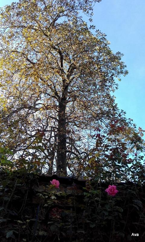 arbre-dautomne-accompagnee-de-queques-roses