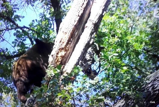 ours-brun-dans-les-arbres