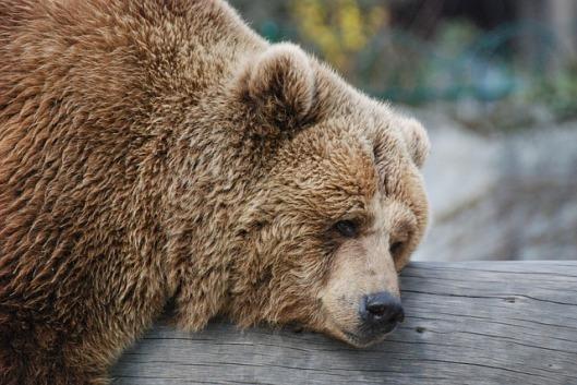 ours-endormi