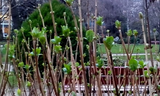 bourgeons-de-printemps