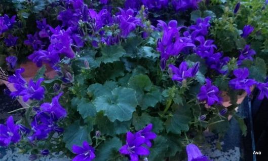 fleurs-parme