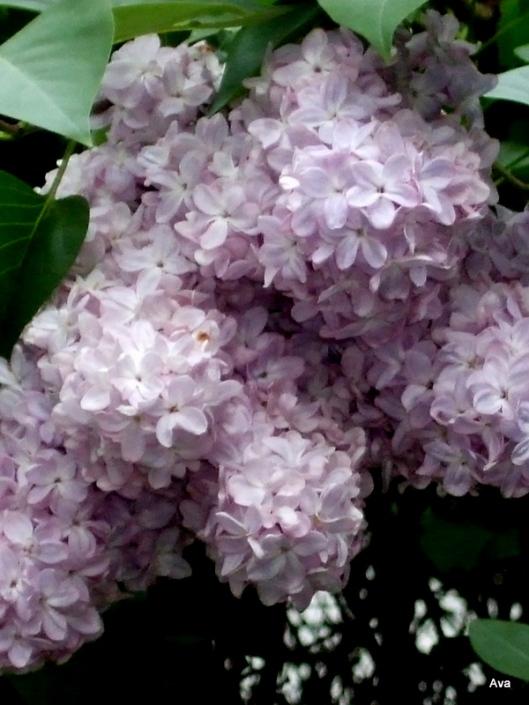 lilas-mauve