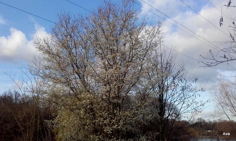 arbre-du-printemps