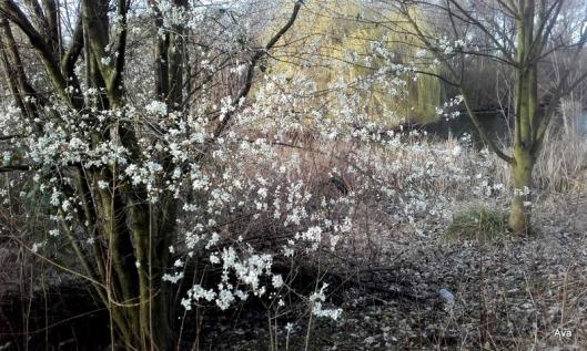 arbustes-fleuris