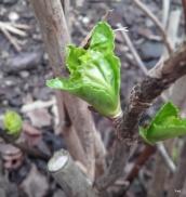 bourgeons de printemps