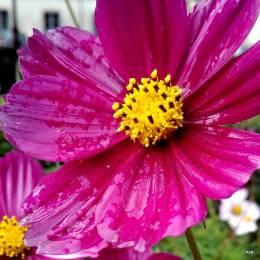 fleur sous la pluie)