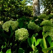 hortensia vert