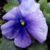 pensée mauve sous la pluie