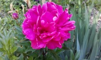 pivoine rose fuchsia