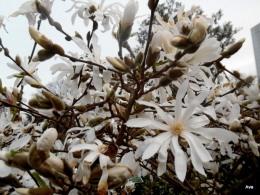 arbres à fleurs blanches