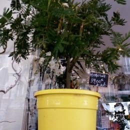 mimosa en devenir