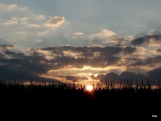 soleil sur les épis de maïs